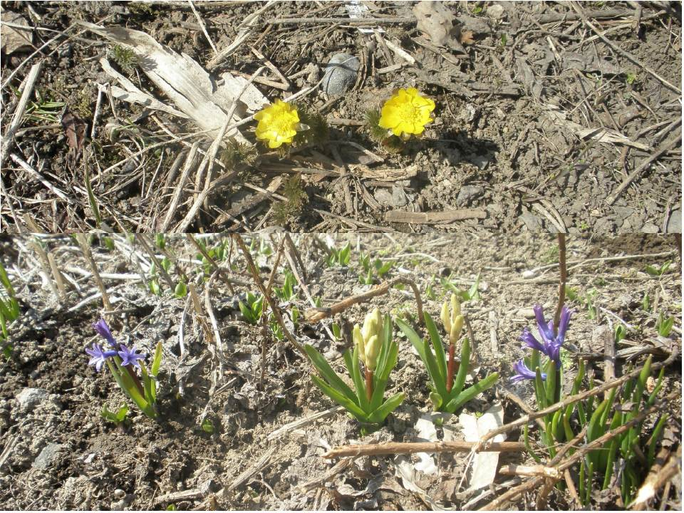 春1番の花達