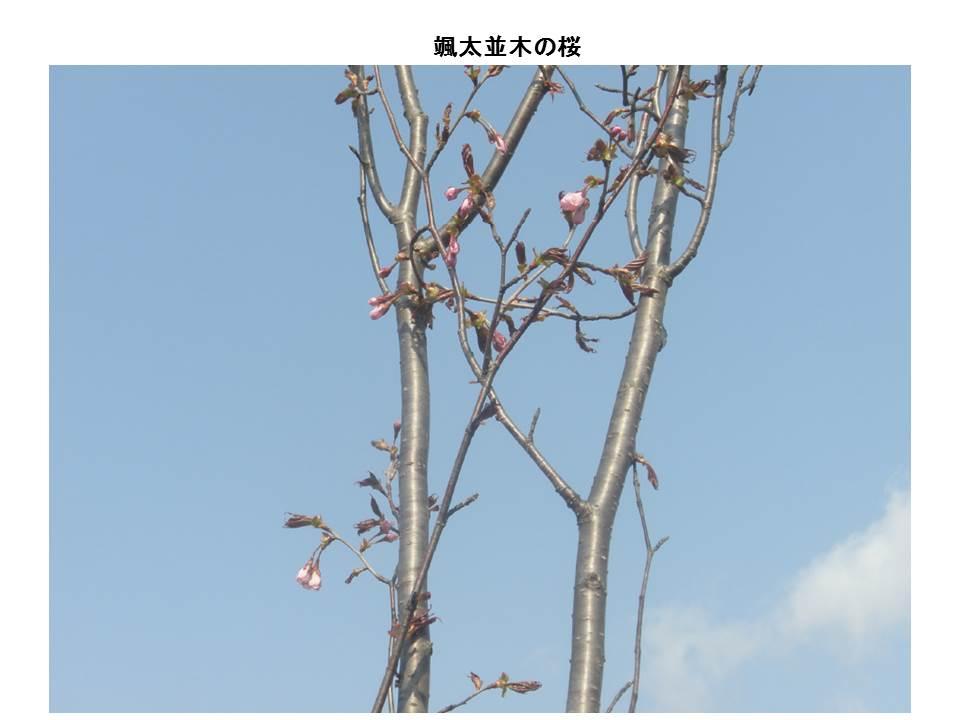 颯太並木の桜1