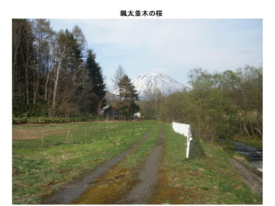 颯太並木の桜2