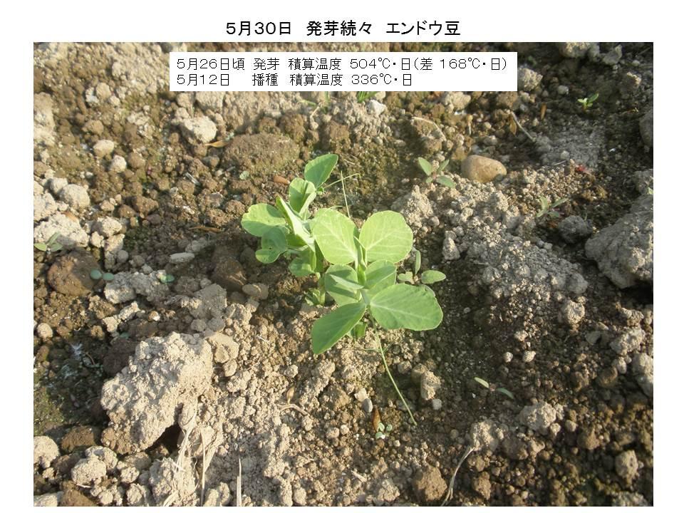 エンドウ豆発芽