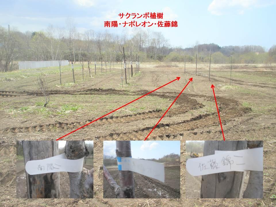 サクランボ植樹